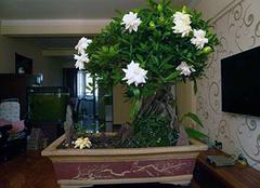 盆栽栀子花冬天怎么养 水养栀子花冬季怎么养