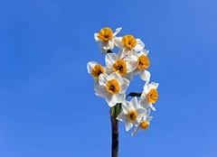 水仙花冬天怎么养殖 水仙花为什么不开花