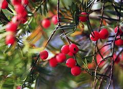 家里养红豆杉风水好吗 家养红豆杉有什么好处