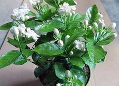 茉莉冬季盆栽怎么养 茉莉怎样让它冬天开花