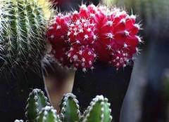 防辐射最好的植物 仙人球真的能防辐射吗