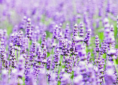 薰衣草怎么养比较好 紫色薰衣草花语是什么
