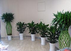 什么绿植适合室内养 家里摆放什么植物招财