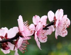 桃花能放在家里吗 桃花可以放在卧室么