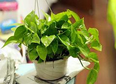 绿萝的作用与功效 绿萝怎么养才能更绿