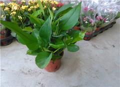 绿萝养殖方法和注意事项 绿萝扦插快速生根方法