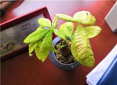 办公室植物风水哪种好 办公室的花卉摆放风水