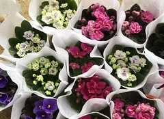 紫罗兰花有几种颜色 紫罗兰花怎么养
