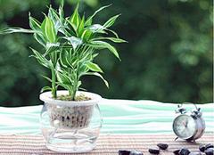 富貴竹可以去除甲醛嗎 居室除甲醛用什么好