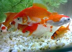 家里养鱼可以招财吗 鱼缸摆放有什么讲究