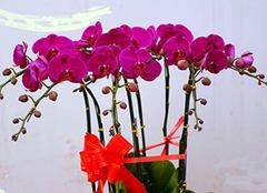蝴蝶兰的养殖方法和注意事项 蝴蝶兰开花后怎么处理