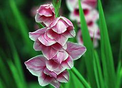 剑兰花怎么养 剑兰花语是什么