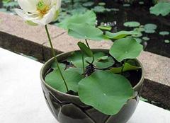 水生盆栽植物怎么养 水生植物有哪些