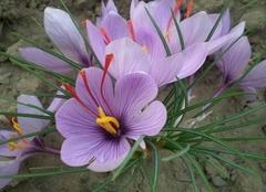 番红花和藏红花的区别 番红花的养殖方法