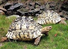 豹龟好养吗 豹龟能长多大