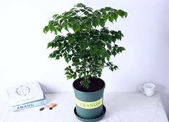 幸福树除甲醛吗 幸福树的养殖方法和注意事项