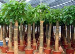 发财树夏天的养殖方法和注意事项 发财树用什么肥料最好