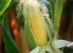 玉米须的功效与作用 玉米须可以去胎毒吗