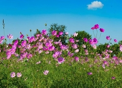 波斯菊花语 波斯菊种子的种植方法