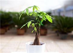 发财树的养殖方法和注意事项 发财树的寓意