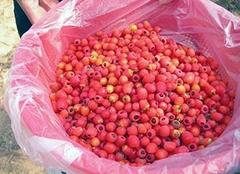 红豆杉的功效与作用 红豆杉泡水喝的功效