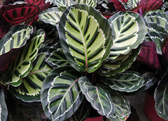 竹芋的养殖方法 竹芋放室内养可以吗