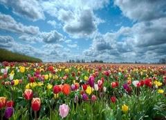郁金香花语和寓意 郁金香是哪国的国花