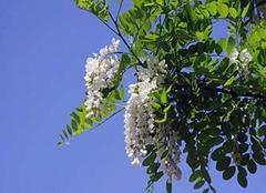 槐花的功效与作用 槐花怎么吃