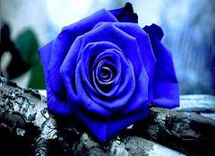 蓝玫瑰花语是什么 蓝玫瑰多少钱一支
