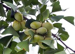 �y杏果的功效及��用�方法 �y杏果身�E大半什麽�r候成熟