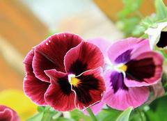 三色堇的花语和含义 三色堇是哪国国花 三色堇什么时候播种