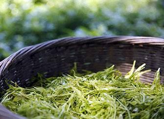 莓茶的功效与作用禁忌 莓茶什么人不适合喝 莓茶的价格