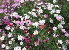 波斯菊和格桑花的区别 波斯菊一盆种几颗 波斯菊种子要用水泡吗