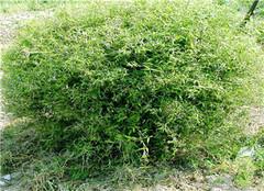 凤尾竹养殖方法和注意事项 凤尾竹风水禁忌