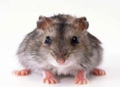 老鼠进家的风水说法 老鼠进家里是什么预兆 老鼠进家里怎么赶出去