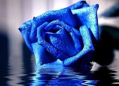 藍色妖姬花語 藍色妖姬代表什么含義 藍色妖姬多少錢