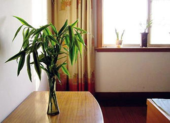 发财树可以和富贵竹一起养吗 发财树和富贵竹哪个更好养 发财树富贵竹摆放位置