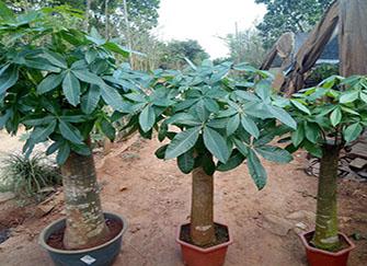 买发财树有讲究吗 买发财树三根好还是一根好 买发财树哪一种最好