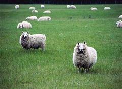 属羊的今年多大 属羊的和什么属相不合 属羊的几月出生最好