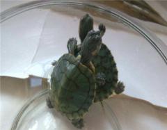 养乌龟有什么说法 老人为什么不建议养乌龟 哪个生肖不宜养龟