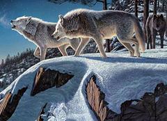 梦见狼是什么意思 梦见狼群是什么意思 梦见狼咬自己