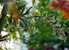 竹子開花意味著什么風水 竹子開花為什么會死人 竹子開花一定有災嗎
