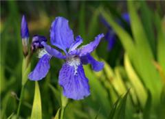 鸢尾花是哪个国家的国花 鸢尾花花语是什么 鸢尾花一年开几次