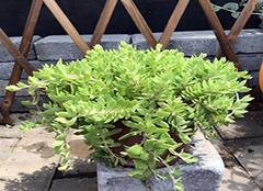 垂盆草的功效与作用及食用方法 垂盆草的养殖方法和注意事项 垂盆草能治肝病吗