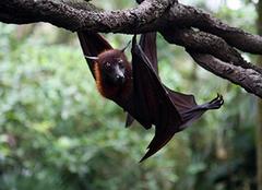 家里进蝙蝠是什么预兆 家里进蝙蝠怎么赶走 家里进蝙蝠打死了会怎么样