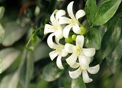 九里香适合室内养吗 九里香的养殖方法和注意事项 九里香什么时候开花