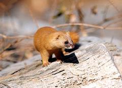 黃鼠狼為什么不能打 黃鼠狼進家是吉是兇 黃鼠狼為什么稱為黃仙