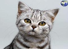 虎斑猫和美短的区别 虎斑猫怎么看纯不纯 虎斑猫多少钱一只