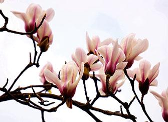 玉兰花的功效与作用 玉兰花什么时候开花 玉兰花是什么颜色的