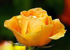 黄玫瑰代表什么意思 黄玫瑰送女友什么意思 19朵黄玫瑰花语是什么